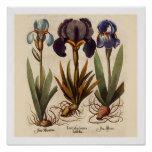 Vintage Botanical Print - Iris