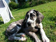 great dane puppy in the yard