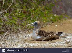 Blue-footed booby (Sula nebouxii) sitting in nest, brooding, Isla de la Plata, Machalilla National Park, Manabi Province Stock Photo