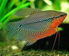Gourami Fish for Sale Online Live Aquarium Fish, Tropical Fish Aquarium, Planted Aquarium, Tropical Freshwater Fish, Freshwater Aquarium Fish, Aquariums, Fish For Sale, Salt Water Fish, Monterey Bay Aquarium