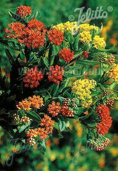 ASCLEPIAS tuberosa  'Gay Butterflies' Portion(s)