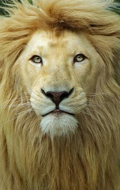 Meglio un giorno da leone che cento da pecora.  Italian proverb for Better one day as a lion than one hundred as a sheep.