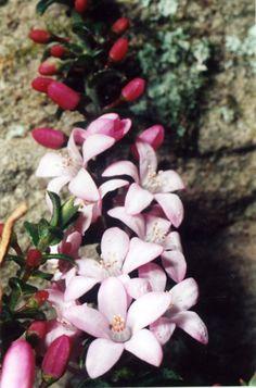 . Australian Native Wax Flower