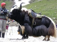 Head out on a Yak Safari! Large Animals, Zoo Animals, Wildlife Of India, Musk Ox, Big Horses, Livestock, Cattle, Animal Pictures, Art Reference