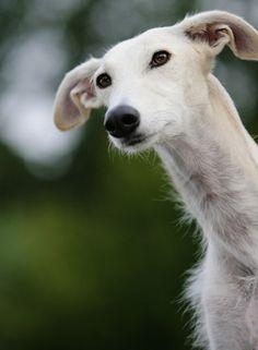 Galgo Espanol | Galgo Español | Hund | Wesen, Erziehung und Eigenschaften