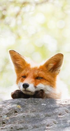 cute fox The daily Fox ( Woodland Creatures, Cute Creatures, Beautiful Creatures, Animals Beautiful, Cute Baby Animals, Animals And Pets, Funny Animals, Pumas Animal, Fuchs Baby