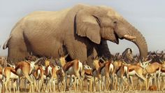 An African elephant towers above herds of antelope and zebra as they congregate at a precious waterhole on the Etosha salt pan in Namibia, in a scene from David Attenborough's new BBC wildlife series Africa Picture: BBC African Elephant, African Animals, African Safari, Beautiful Creatures, Animals Beautiful, Cute Animals, Nature Film, Elephas Maximus, Elephants Never Forget