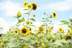 Rutledge Sunflower Festival