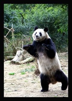Panda Exercising At The Chengdu Panda Base