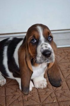 Look at that face. He's just so Bassetastic!