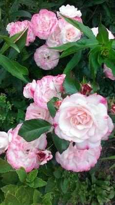 Роза Rosenstadt Freising