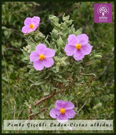 Expo 2016 Antalya BLOG: Flower of the day: Cistus albidus
