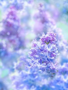 Lilac 06 by Wei-San Ooi