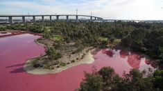 Images of a hot-pink lake in Melbourne have taken over the internet this week. The coloration is the result of a salt-loving microbe's attempt to make its own sunscreen.