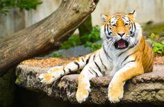 https://flic.kr/p/bVifCr   Tiger_KBH_zoo-4283