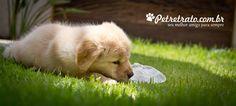 Fotografia de cachorro - Golden Retriever Suri - Pet Retrato   Pet Retrato - Fotografia cães, foto gatos, foto pet, Foto cães, fotografia animal, book cachorro, álbum cachorro, pet book