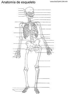 Esqueleto humano sin nombres, para escribirlos.