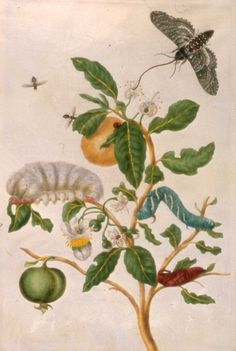 Plate 57 to Metamorphosis Insectorum Surinamensium by Maria Sibylla Merian (1647-1717) - Royal Collection Trust.