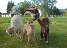 the funniest animal ever is a shaved Alpaca!!!  They seem to be listing a bit.... Top heavy perhaps?