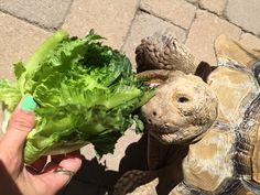 Kingsley Tortoise eating lettuce