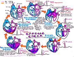 "kaustinhanson: ""cardiac cycle """