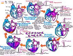 "kaustinhanson: ""cardiac cycle """