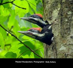 Pileated Woodpeckers - Photo by Molly Sultany