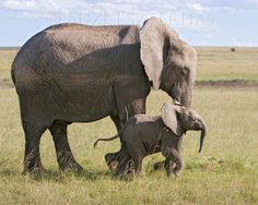 Baby elephant and mom photo