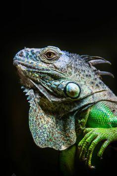 Lounge Lizard - The Green Iguana