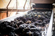 Cherchez l'intrus / Spot the mistake ! #vendanges #harvest #Rhone #ChateauneufDuPape Photo Marion Barral.