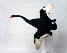 Black Swan Bird Images Black Swan banking