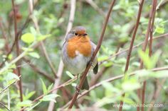 Robins, also known by their scientific name of Erithacus rubecula, are wonderful birds to see in your garden, or when you're out for a walk. Big Garden Birdwatch, Robins, Garden Design, Wildlife, Gardens, Birds, Animals, Animaux, European Robin