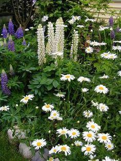 Shasta daisies and lupins