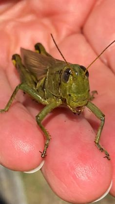 Some Grasshoppers I caught today