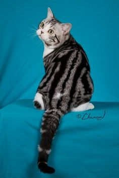 National American Shorthair Club - KC Dancers Eye of the Tiger American Shorthair Cat, British Shorthair, Animals And Pets, Cute Animals, Long Cat, Types Of Cats, Raining Cats And Dogs, Vash, Domestic Cat