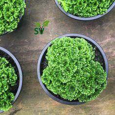 Final de semana de #jardimterapia Então vamos de dica @sempreverdegarden O Musgo, essa plantinha tão versátil, pode compor terrários, forração de vasos e porque não ser o destaque no criado mudo, no aparador ou na mesa do escritório!?! Fica um charme! E o melhor: Muito fácil de cuidar! Vem pra Sempre Verde que nossa equipe te explica tudo aqui!😉😘#musgo #sempreverde #gardencenter #verde #jardinagem #floricultura #flores #plantas #paisagismo #dicas #vasos #garden