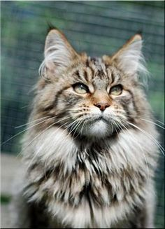 Visit Country Dream's Maine Coons website www.absolutelycats.com/23MaineCoon5.html http://www.mainecoonguide.com/maine-coon-personality-traits/