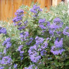 X Caryopteris clandonensis Heavenly Blue - Caryoptéris bleu intense / Exposition SOLEIL, Mi-ombre - Fleurit en Août à Sept - Hauteur : 80 cm