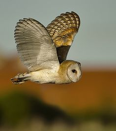 feeling the earth between its wings.Barn Owl in flight of Prey From Pin Board Beautiful Owl, Animals Beautiful, Cute Animals, Owl Bird, Pet Birds, Tyto Alba, Owl Pictures, Nocturne, Tier Fotos