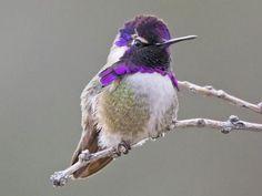 Costa's Hummingbird Adult male is similar to Anna's Hummingbird
