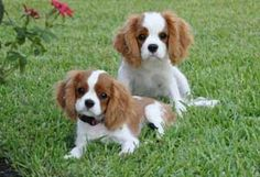 Sonesta Cavaliers - Quality Cavalier King Charles Spaniels - Photo Gallery