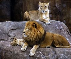 Male & Female Lion