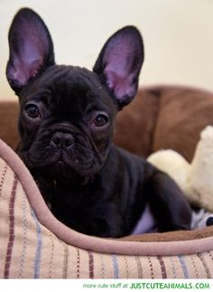 Little Bulldog