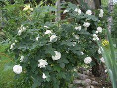 Rosa alba 'Maxima'  - Ruusuja - www.kielometsa.fi