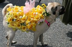 Pug on Parade at the Daffodil Festival