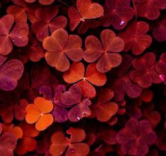 red clovers by ~thunderstorm1991 on deviantART