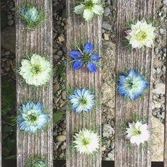 I cannot stop admiring this beauties 🌸😍💙 #flowersofilrigo #sloflowers #nigella #naturalwedding #countrywedding #weddingintuscany