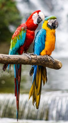 Macaws by Jeff Kitts on – Parrot All Birds, Cute Birds, Pretty Birds, Beautiful Birds, Animals Beautiful, Tropical Birds, Exotic Birds, Colorful Birds, Blue Gold Macaw