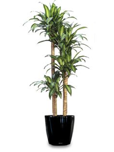 12 Beautiful Indoor Trees That Will Brighten Up Any Room   Corn ...