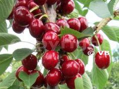 Čerešňa - 'Samba' - Ovocná škôlka - STAPE VAJDA s.r.o. Samba, Cherry, Gardening, Fruit, Lawn And Garden, Prunus, Horticulture